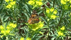Close up a butterfly on spurge Stock Footage