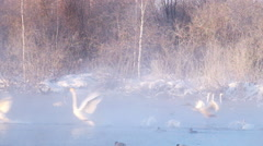 Swans landing on lake in the morning mist  at early morning Stock Footage