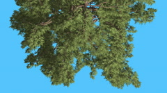 Western Juniper Top of Tree Turned Image Coniferous Evergreen Tree is Swaying Stock Footage