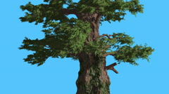 Western Juniper With Its Fluttering Leaves Coniferous Evergreen Tree is Swaying Stock Footage