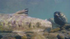Snaggletooth Chum Salmon Spawned Out Frenzy 4K Stock Footage