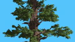 Western Juniper Thick Trunk And Branches Coniferous Evergreen Tree is Swaying Stock Footage