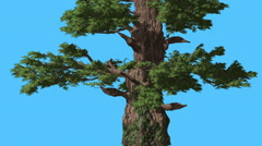 Western Juniper Bark on a Trunk Coniferous Evergreen Tree is Swaying at The Stock Footage