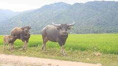 Buffaloes Bullcalf Go along Rice Field against Hills Stock Footage