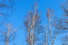 bare birch tree tops and blue sky - stock photo
