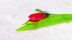 One Red Flower Tulip in the Fresh Snow - stock footage