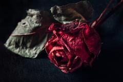 One dry rose Stock Photos