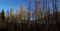 Autumn Birch Tree Lateral Rotation Aerial 4K Stock Footage