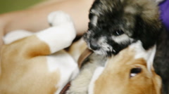 Two dog puppies playing together on the floor - stock footage