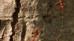 Extreme CU - Red Ants on Tree Bark with vertical fissure - stock footage