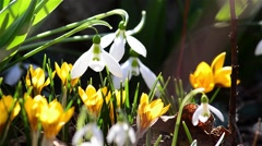 Bee pollen seeking from flowers by yellow crocuses and snowdrops from garden - stock footage