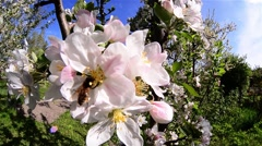 Bees looking for pollen from flowers apple orchard in the backyard - stock footage