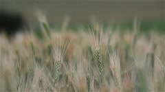 Wheat ears bathed by rainwater summer cold Stock Footage