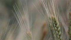 Wheat ears bathed by rainwater summer cold - stock footage