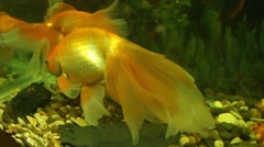 Big beautiful gold fish swimming in aquarium. Goldfish family Arkistovideo