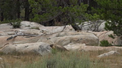 Wild Marmot Darts Between Low Boulders Hiding 4K Stock Footage