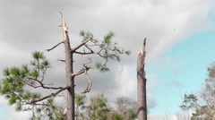 Tornado aftermath - trees snapped in half Stock Footage