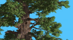 Western Juniper Leaves Are Fluttering Breeze Coniferous Evergreen Tree is Stock Footage
