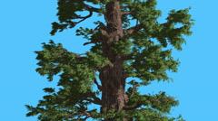 Western Juniper Trunk and Branches Coniferous Evergreen Tree is Swaying at Stock Footage
