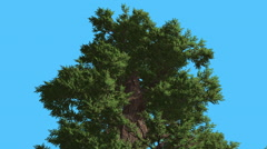 Western Juniper Top of Coniferous Evergreen Tree is Swaying at The Wind Green Stock Footage
