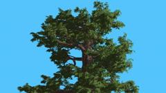 Western Juniper Top of Tree Strong Wind Fluttering Leaves Coniferous Evergreen Stock Footage