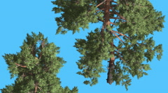 Scots Pine Two Trees Pines Coniferous Evergreen Trees Are Swaying at the Wind Stock Footage