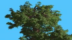 Western Juniper Top of Crown Fluttering Leaves Coniferous Evergreen Tree is Stock Footage