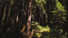 Sunny Redwoods Reverse Downward Aerial Stock Footage