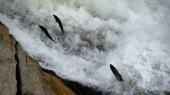 Salmon Leaping Up Roaring Waterfall Slow Motion Stock Footage
