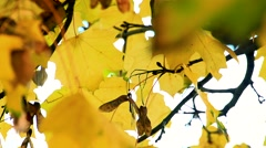 Slowmotion detail of autumnal yellow leaves and achaene on tree  Stock Footage