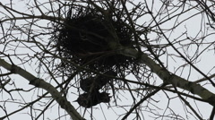 Raven Birds In A Nest Above An Old Forgotten Graveyard - stock footage