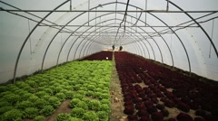 A wide shot from lettuces in hothouse Stock Footage