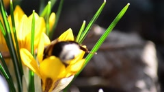 Bee pollen seeking from flowers by yellow crocuses from garden behind the house Stock Footage