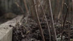 Pull Focus Shot On Fresh Compost Under Raspberry Plants Stock Footage