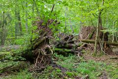 Monumental broken trees lying - stock photo