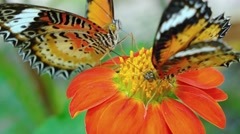 Two Specimens of Leopard Lacewing Butterflies on a Flower. Video 3840x2160 - stock footage