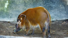 Red River Hog, Standing in his Habitat at the Zoo. Video 3840x2160 Stock Footage