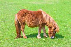 Brown Dwarf horse - stock photo