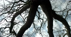 Old tree canopy - stock footage