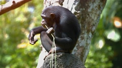 Mature Chimpanzee Using Grass to Collect Water at the Zoo. Video UltraHD Stock Footage