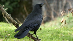 Crow, Bird, Raven Stock Footage