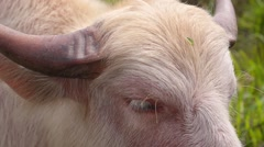 Close up of Pink Bull with Big Horns Stock Footage
