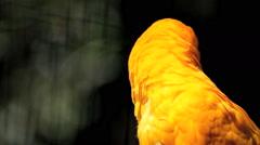 Yellow Parrot. Pantanal, Wetlands, Brazil Stock Footage