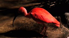 Scarlet Ibis searching for food Stock Footage