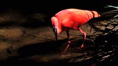 Scarlet Ibis eating fish Stock Footage
