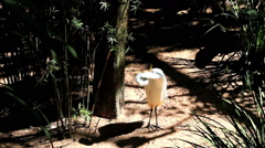White Stork, Parque das Aves, Brazil.  Stock Footage