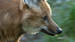 Maned Wolf, Wolf, South American, Wild Dog Stock Footage