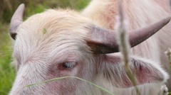 Pink Bull with Horns Feeds on Grassy Pasture Stock Footage