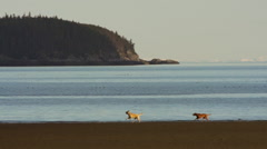 Dog Buddies Running Together on Beach Slowmo Stock Footage
