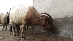 White goat licks the salt deposited on a wall of damp Stock Footage